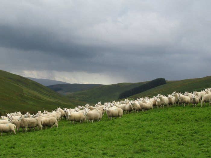 Cheviot Ewes At Glendinning 2 Copy