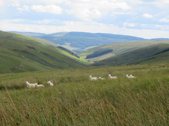 Cheviots In The Meggat Valley 2 Copy